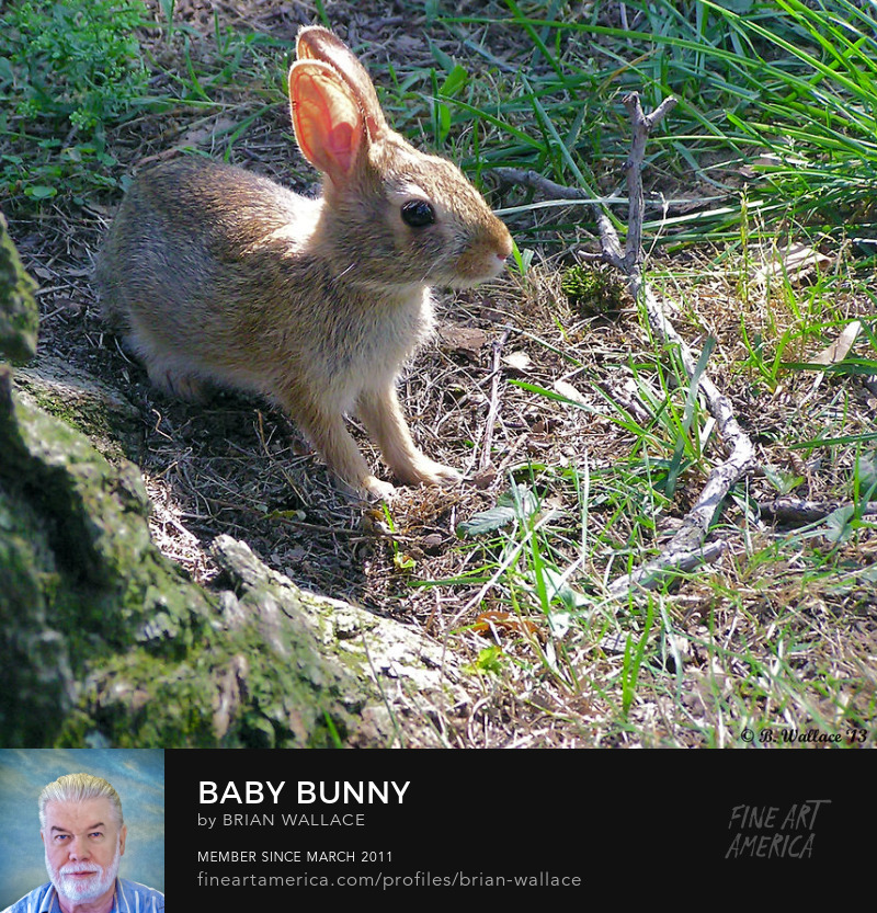 Baby Bunny by Brian Wallace