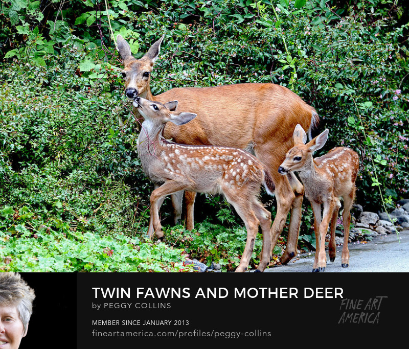 mother deer and twin fawns photograph by Peggy Collins
