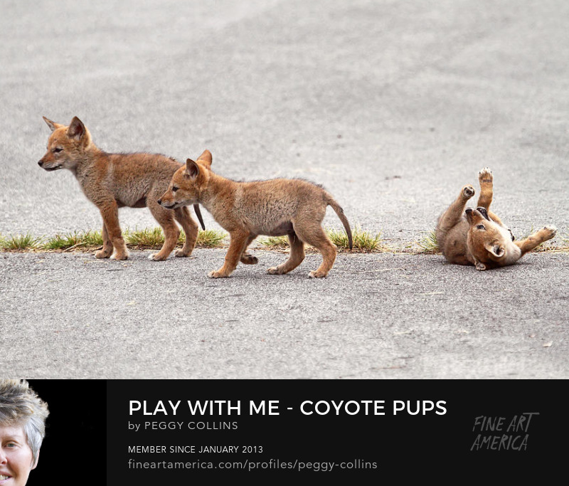 coyote pups playing photograph by peggy collins