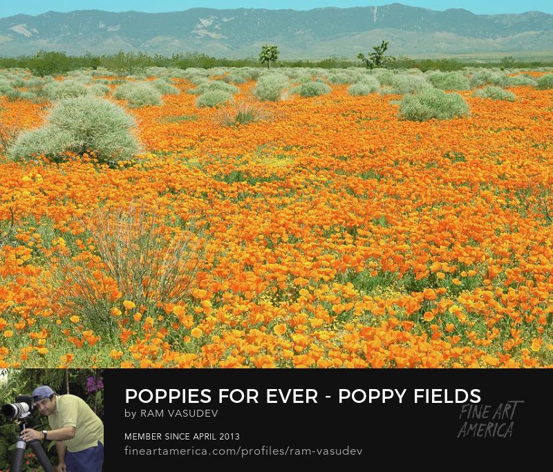 Poppy Fields California Fine Art by Ram Vasudev