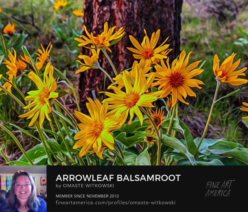 Arrowleaf Balsamroot Methow Valley