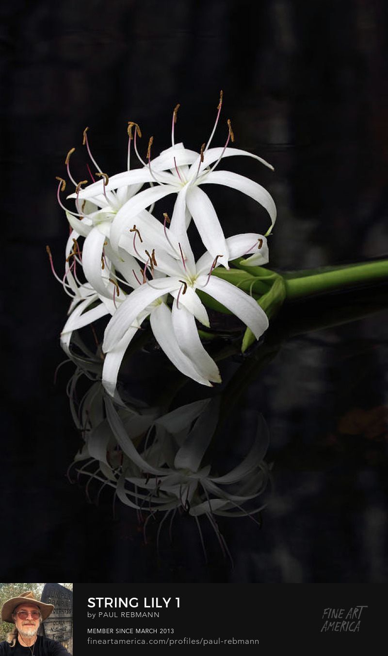 Purchase String Lily #1 by Paul Rebmann