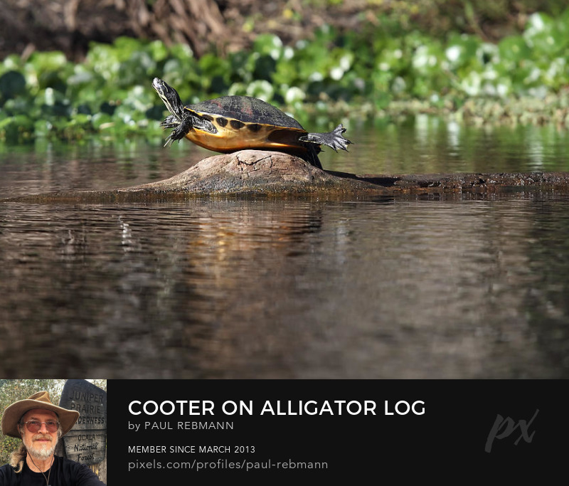 View online purchase options for Cooter on Alligator Log by Paul Rebmann