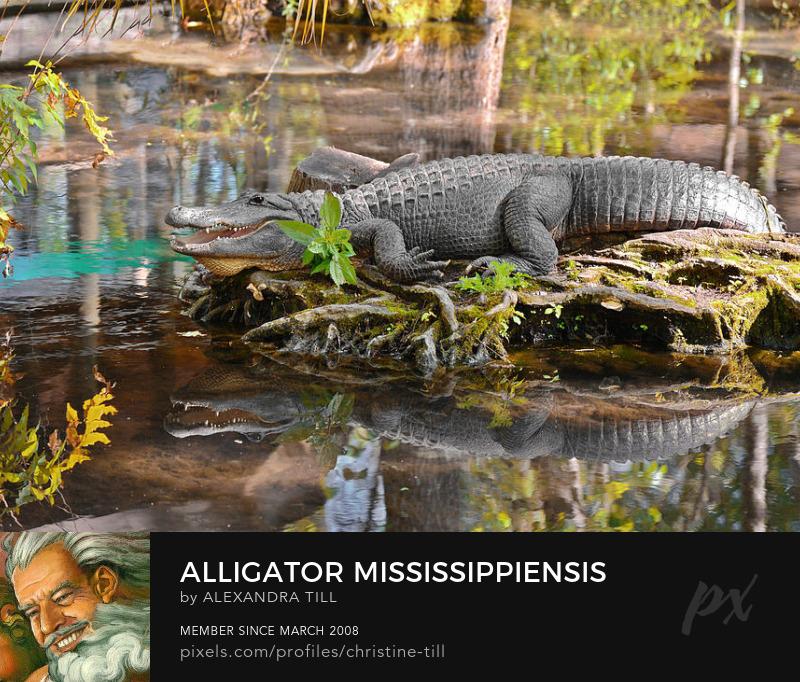 Alligator Mississippiensis Art Prints
