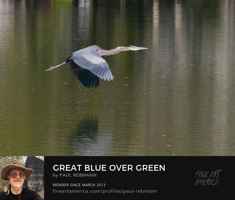 View online purchase options for  Great Blue Over Green by Paul Rebmann