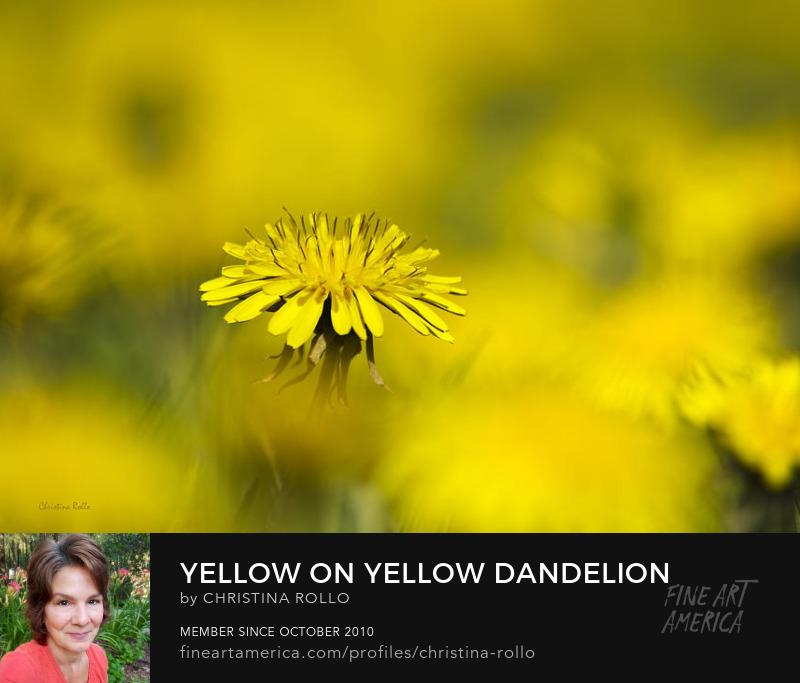 Yellow On Yellow Dandelion