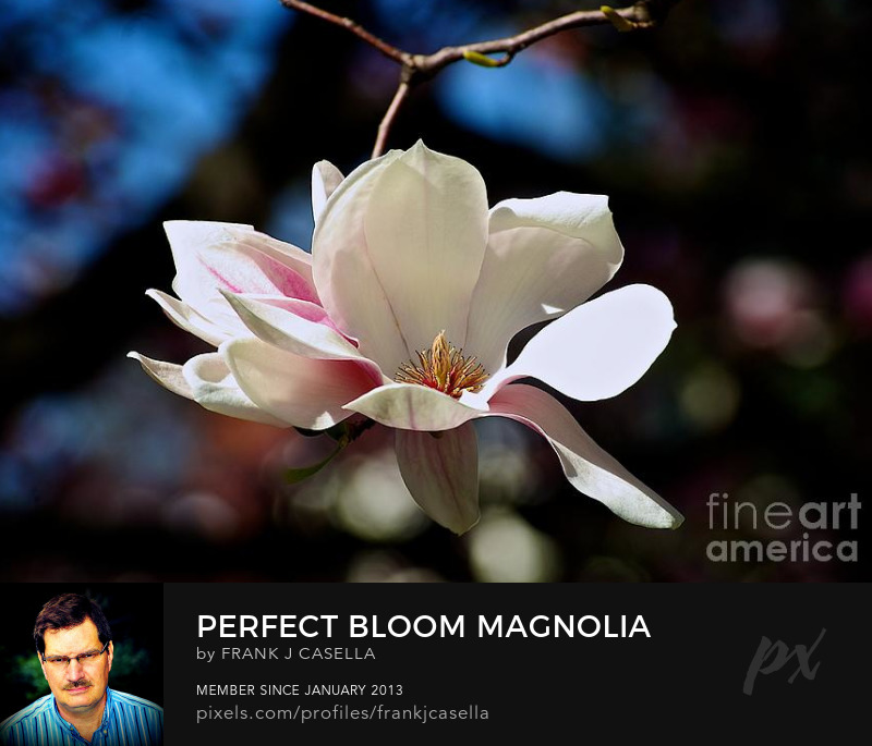 flower perfect bloom magnolia color photograph artwork frank j casella