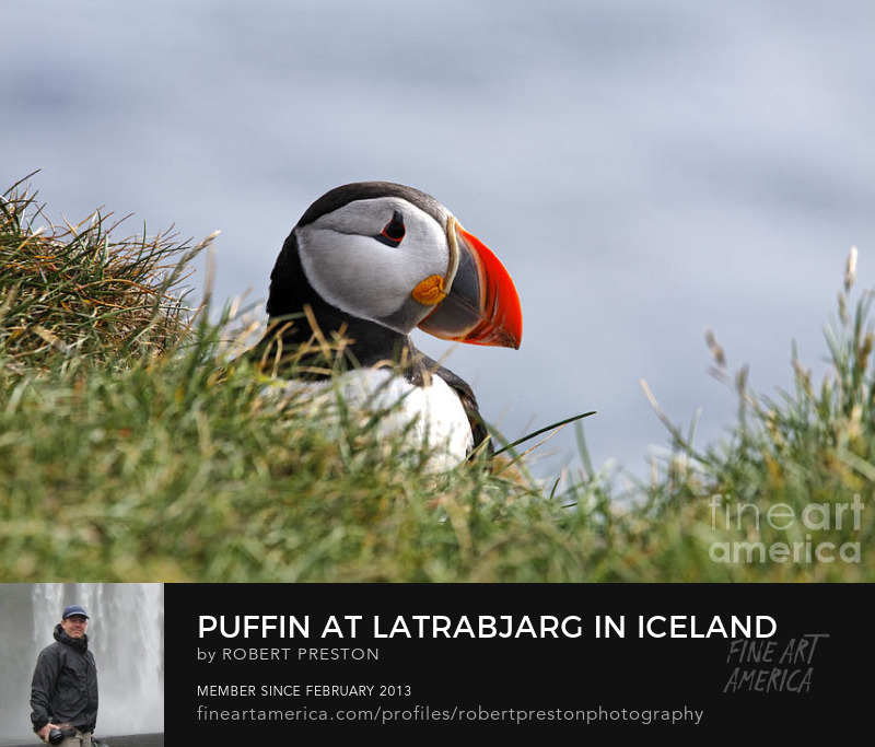Puffin at Latrabjarg Iceland