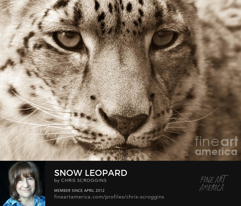 close up of central park zoo snow leopard by chris scroggins