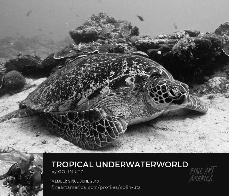 Tropical Underwaterworld In Black And White - Hawksbill Sea Turtle by Colin Utz