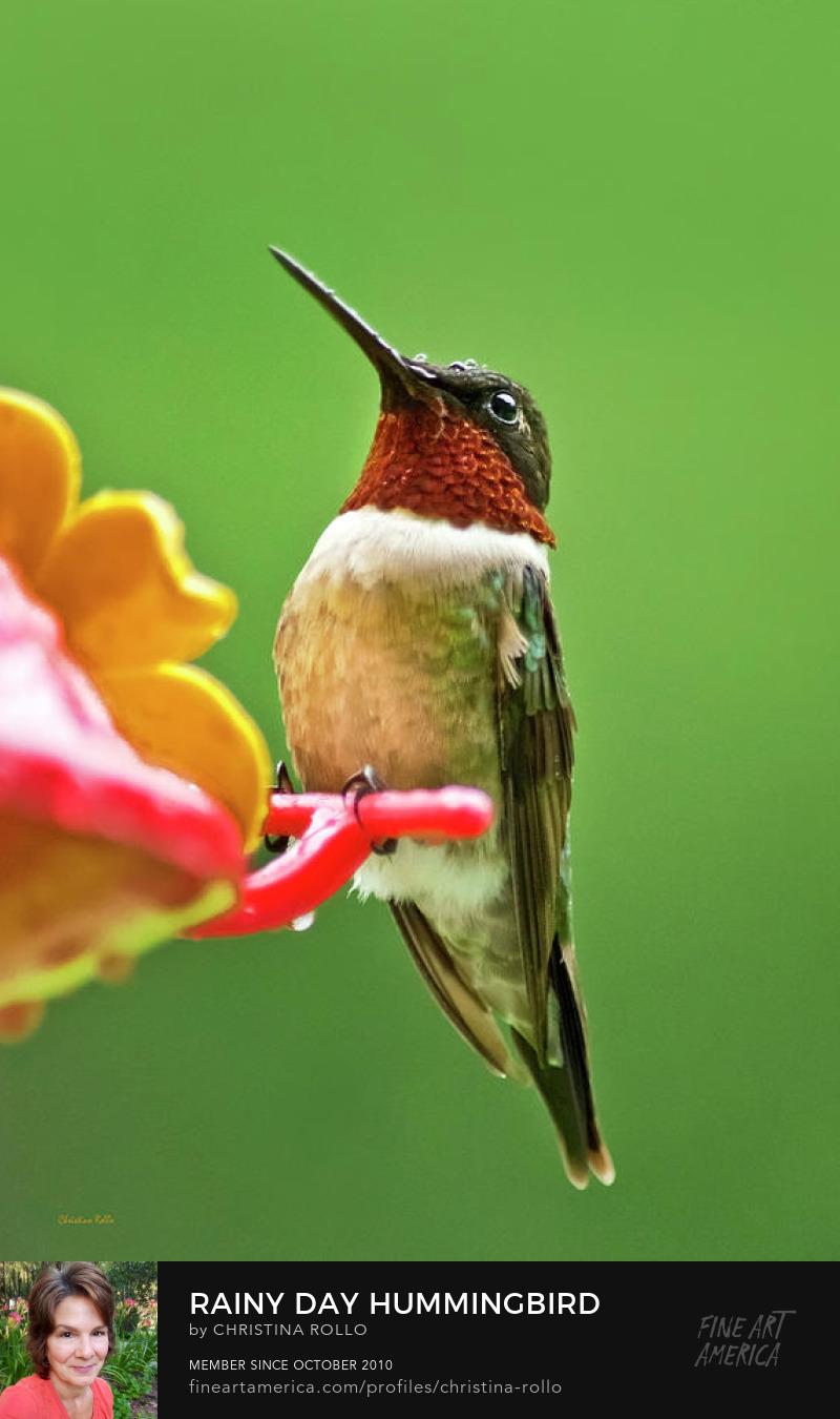 Rainy Day Hummingbird
