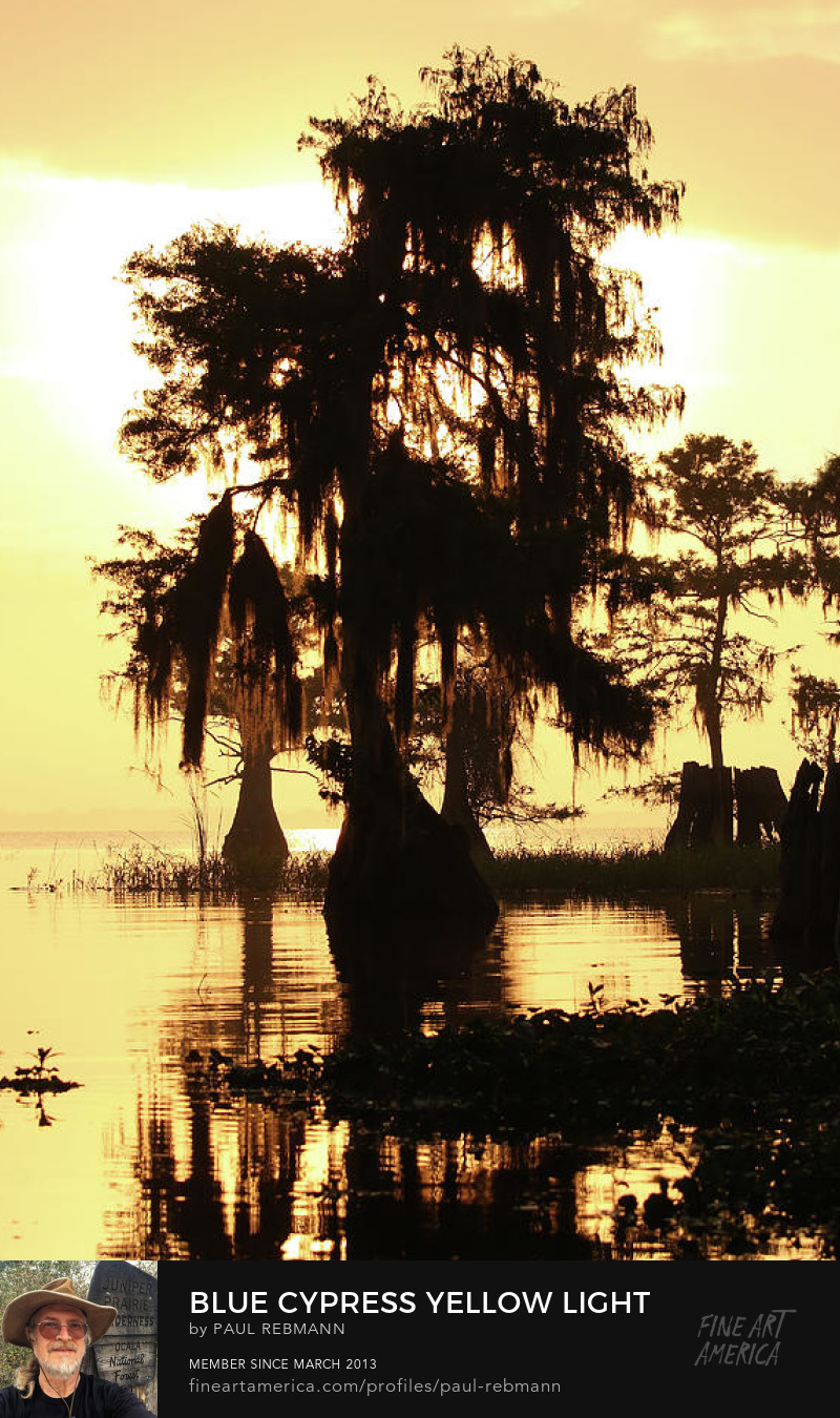 View online purchase options for Blue Cypress Yellow Light by Paul Rebmann