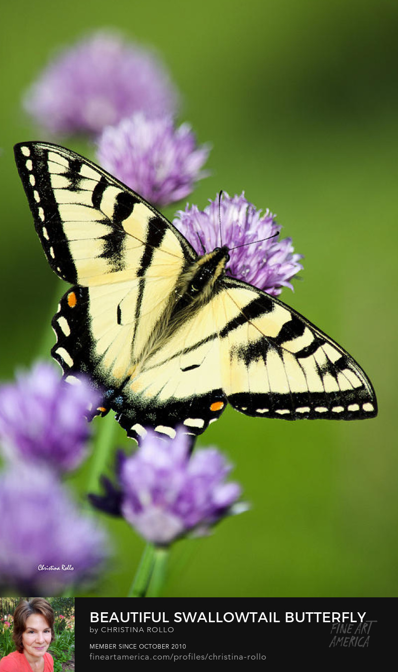 Lepidoptera Eastern Tiger Swallowtail Butterfly