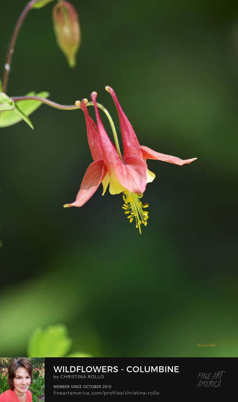 Wildflowers Columbine