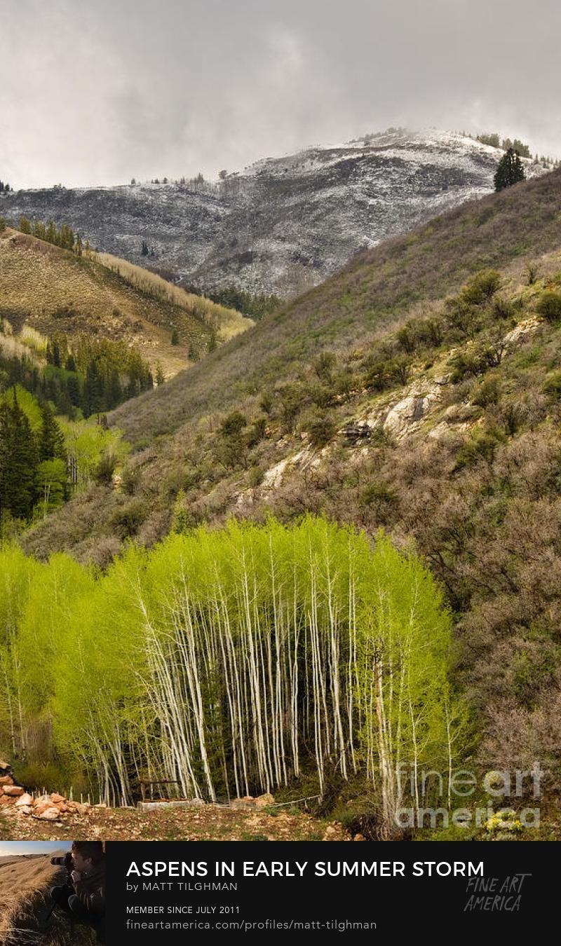 Aspen Trees Rocky Mountain Art Prints