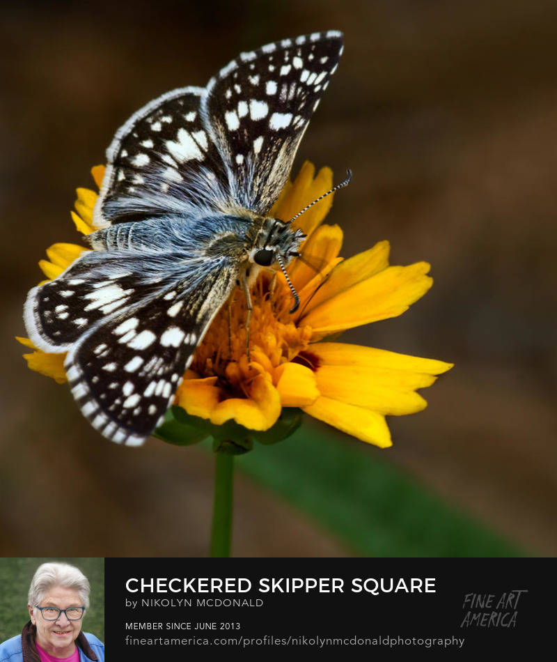 checkered or arctic skipper butterfly on coreopsis by Nikolyn McDonald