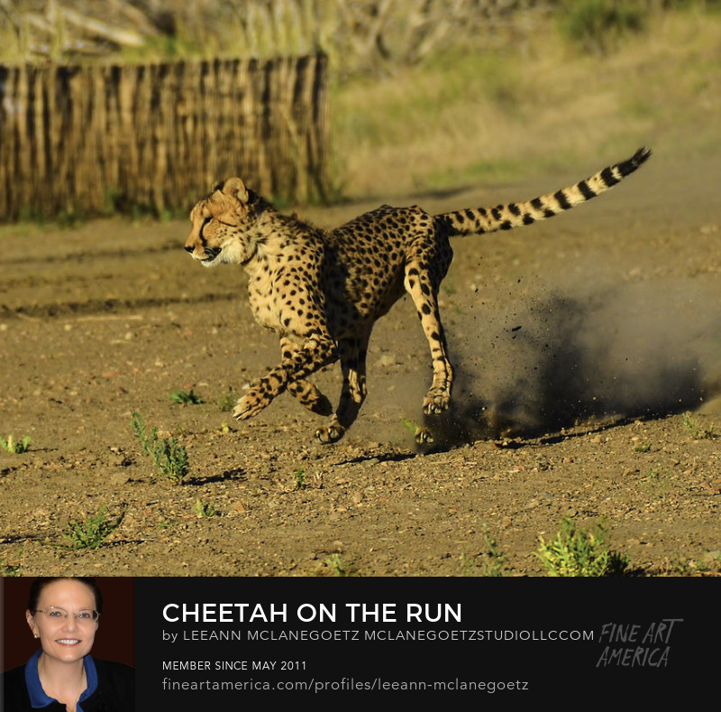 McLaneGoetzStudioLLC.com Print Cheetah on the Run