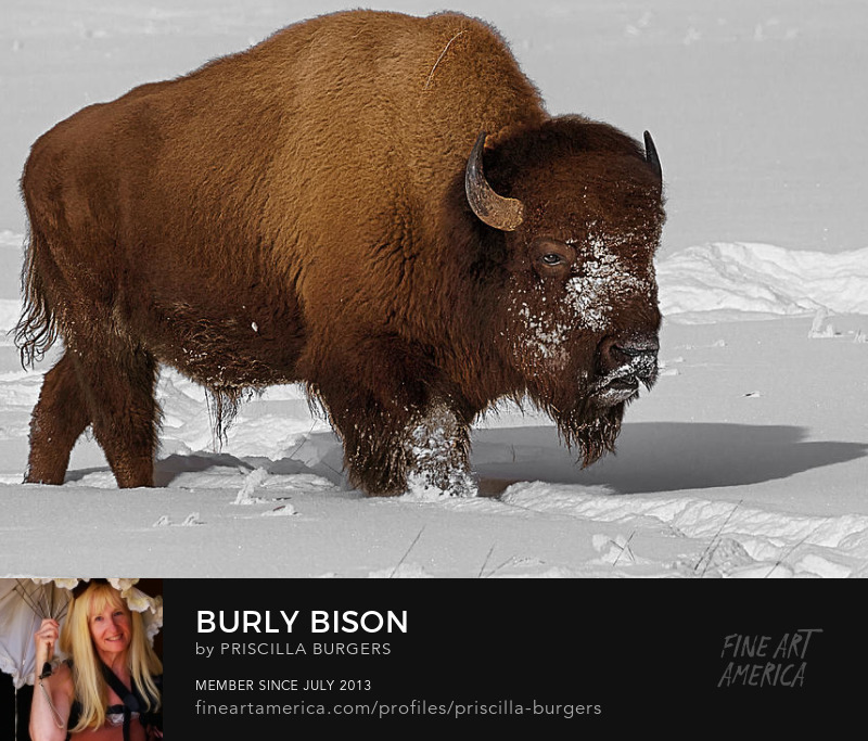 Bison photo by Priscilla Burgers for sale