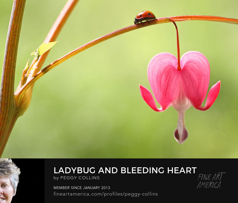 ladybug and bleeding heart by peggy collins