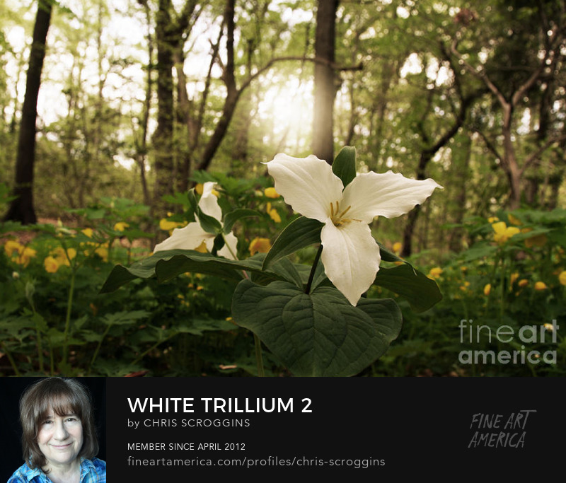 white trilliums flowersin a forest photo by chris scroggins