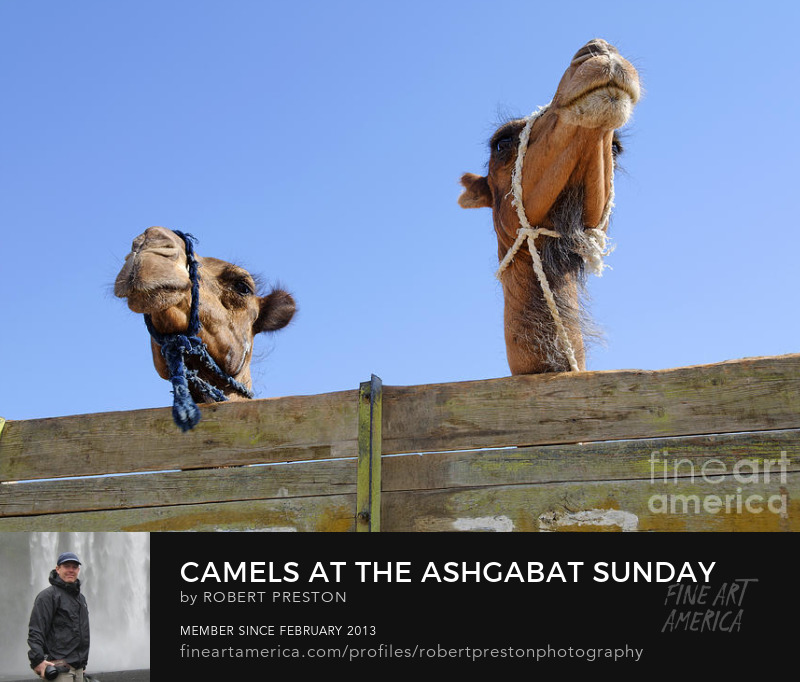 Camels at Ashgabat Sunday Market