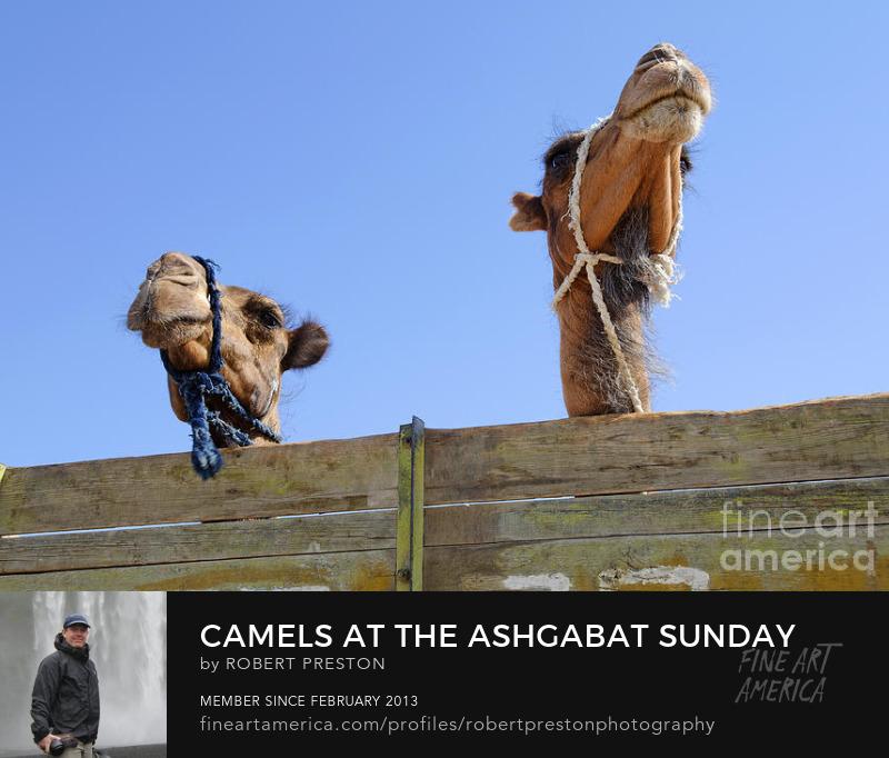 Camels at Ashgabat Sunday Market