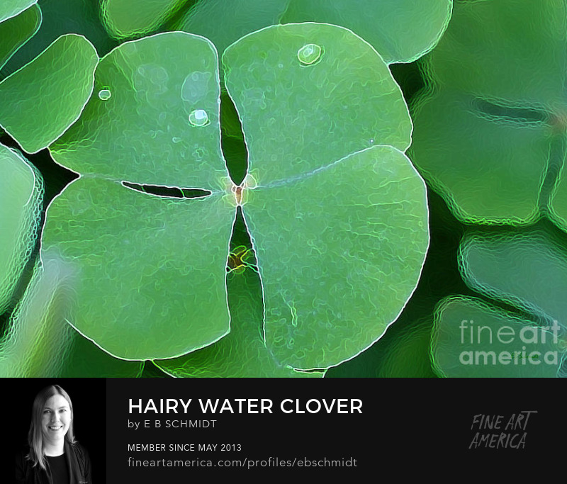Hairy Water Clover by EB Schmidt