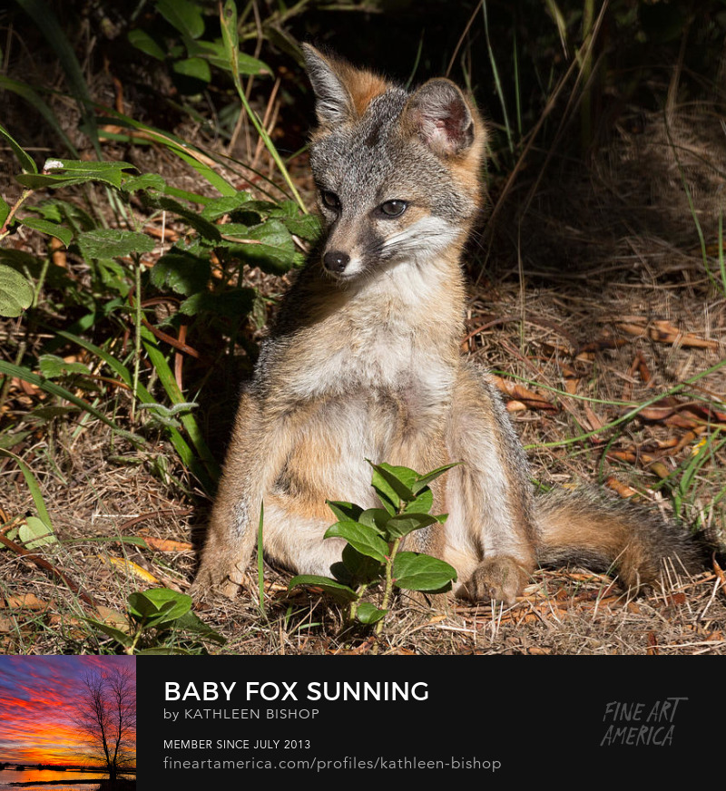 Baby Fox Sunning by Kathleen Bishop Photography