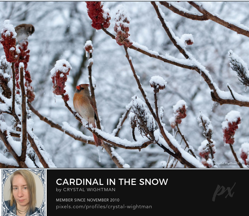 A female cardinal perched on a branch with freshly fallen snow