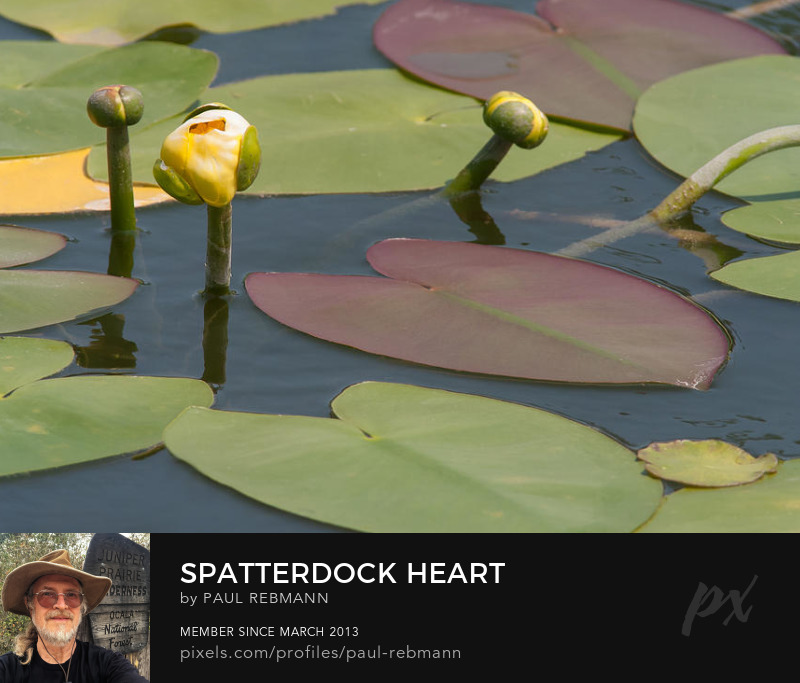 View online purchase options for Spatterdock Heart by Paul Rebmann