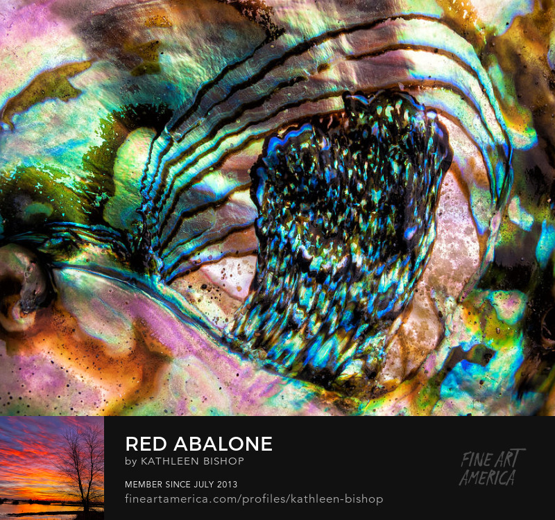 Red Abalone by Kathleen Bishop Photography