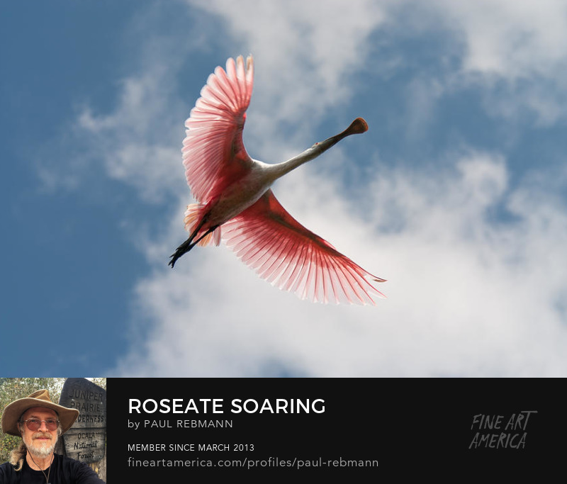 View online purchase options for Roseate Soaring by Paul Rebmann