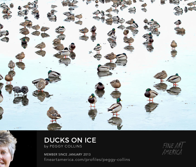 ducks on ice photograph by peggy collins