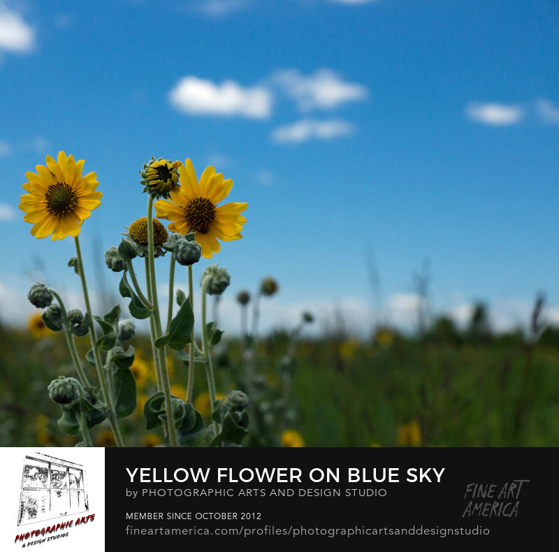 Yellow Sunflower Prints sold by Matt matekovic
