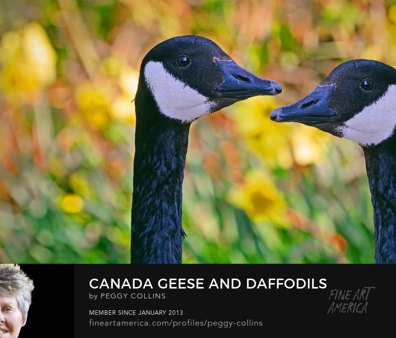 Canada geese and daffodils photograph by Peggy Collins