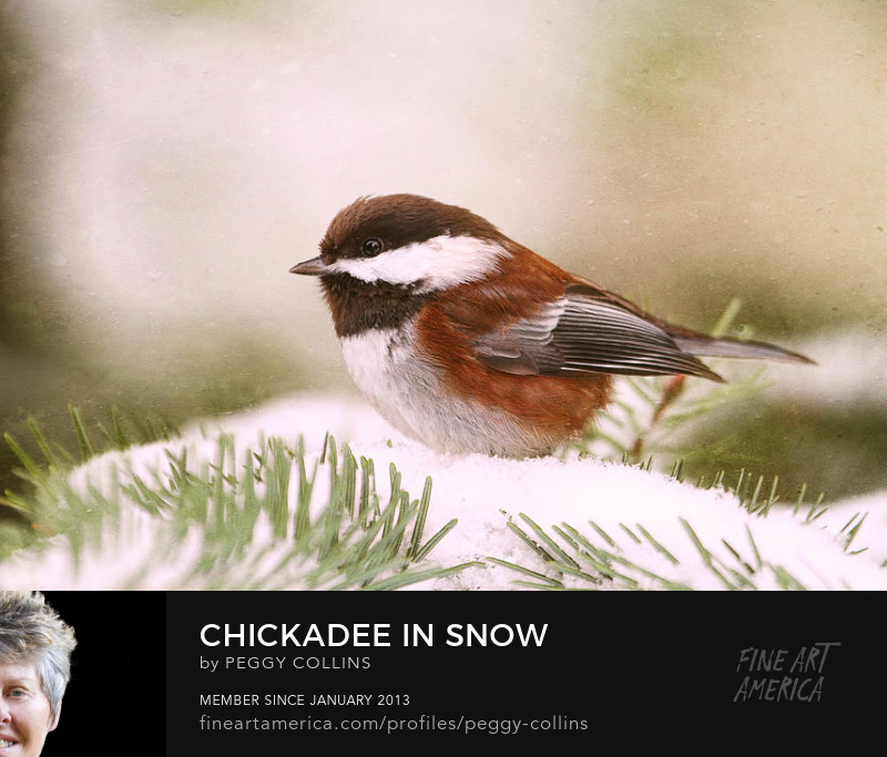 chickadee in snow photograph by Peggy Collins