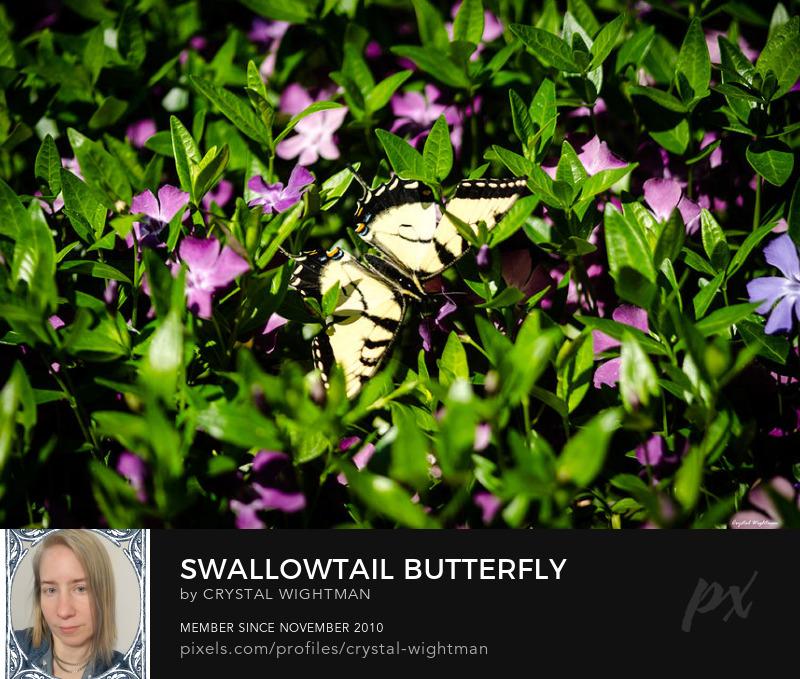 Swallowtail butterfly on a flowering bush
