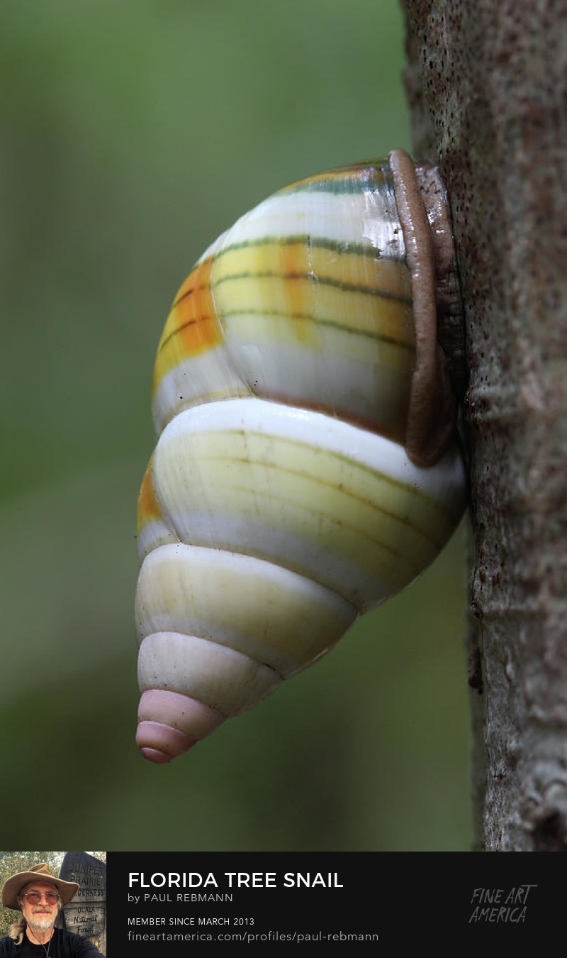 Purchase Florida Tree Snail by Paul Rebmann