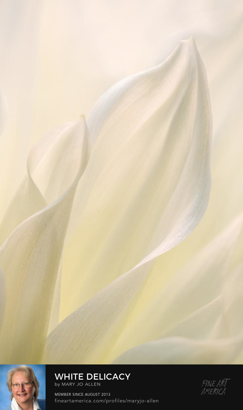 white dahlia petal macro photograph design and light