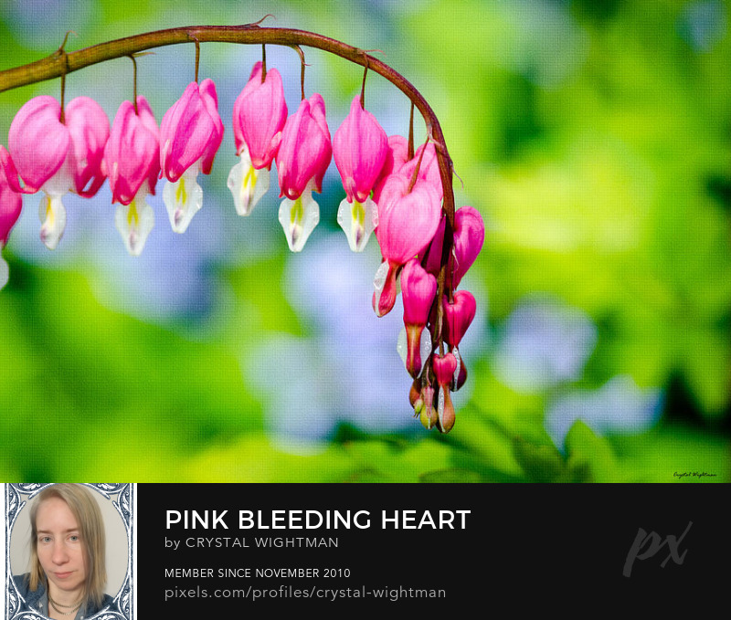 Pink Bleeding Heart flowers hanging on a vine.