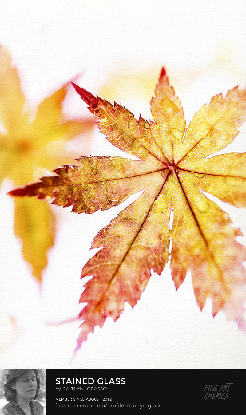 Stained Glass--Japanese maple leaf macro by Caitlyn Grasso
