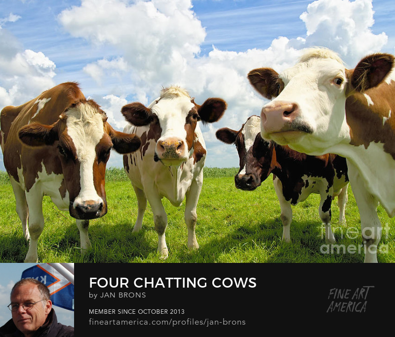 Four chatting cows - Photography Prints