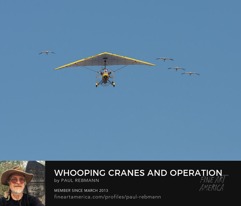 Purchase Whooping Cranes and Operation Migration Ultralight by Paul Rebmann