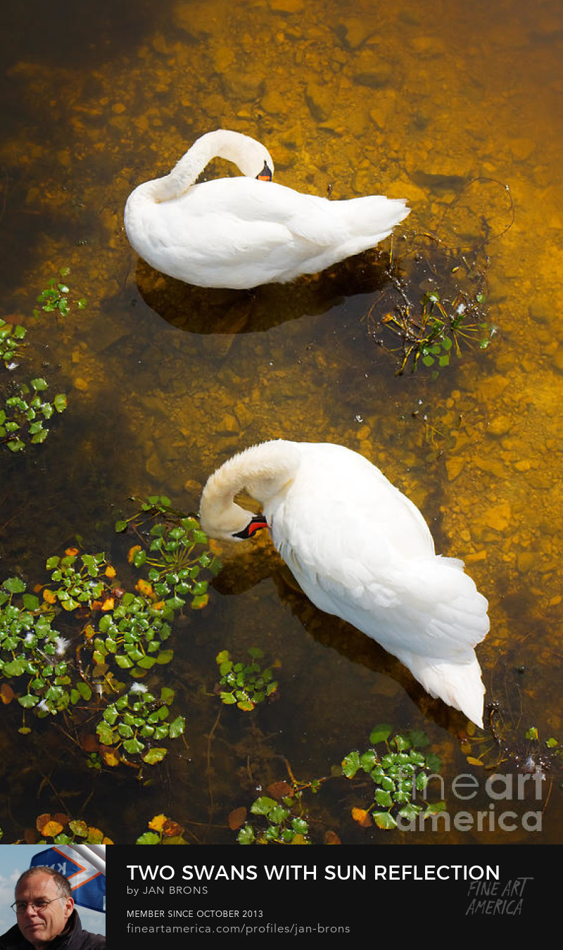 Two swans with sun reflection on water - Photography Prints