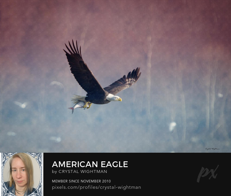 Eagle Photography - A bald eagle flying with a fish.
