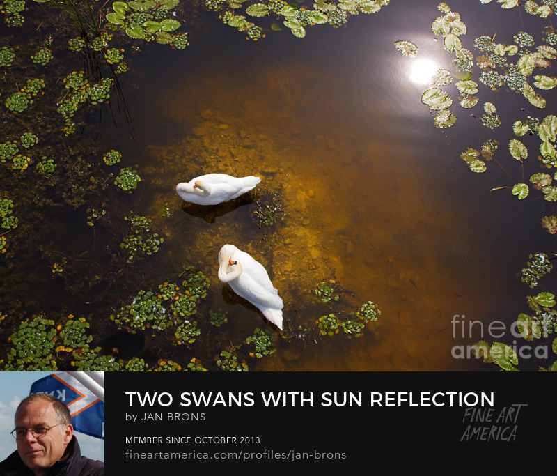Two swans with sun reflection on shallow water - Art Prints