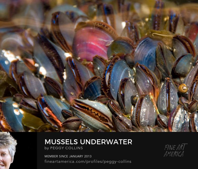 mussels underwater photograph by peggy collins