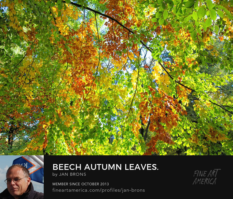 Beech Autumn Leaves - Art Prints