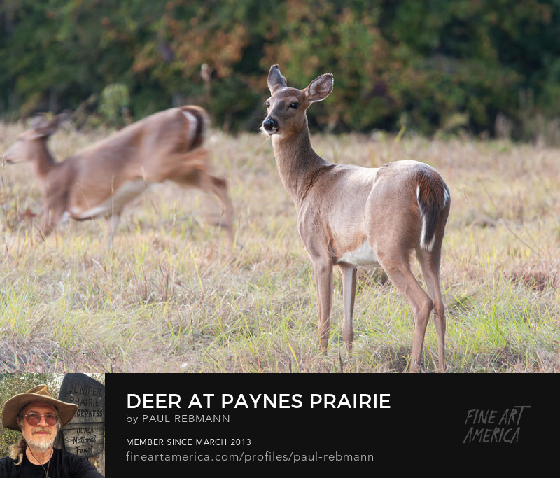 View online purchase options for Deer at Paynes Prairie by Paul Rebmann