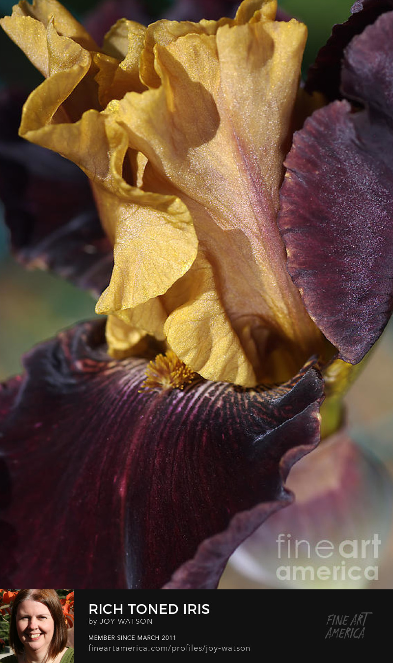 rich toned iris flower photography joy watson
